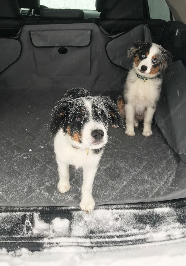 cute-australian-shepherds-360-5aa296e221231__700 20+ Reasons Why Australian Shepherds Are The Best Dogs Design Random