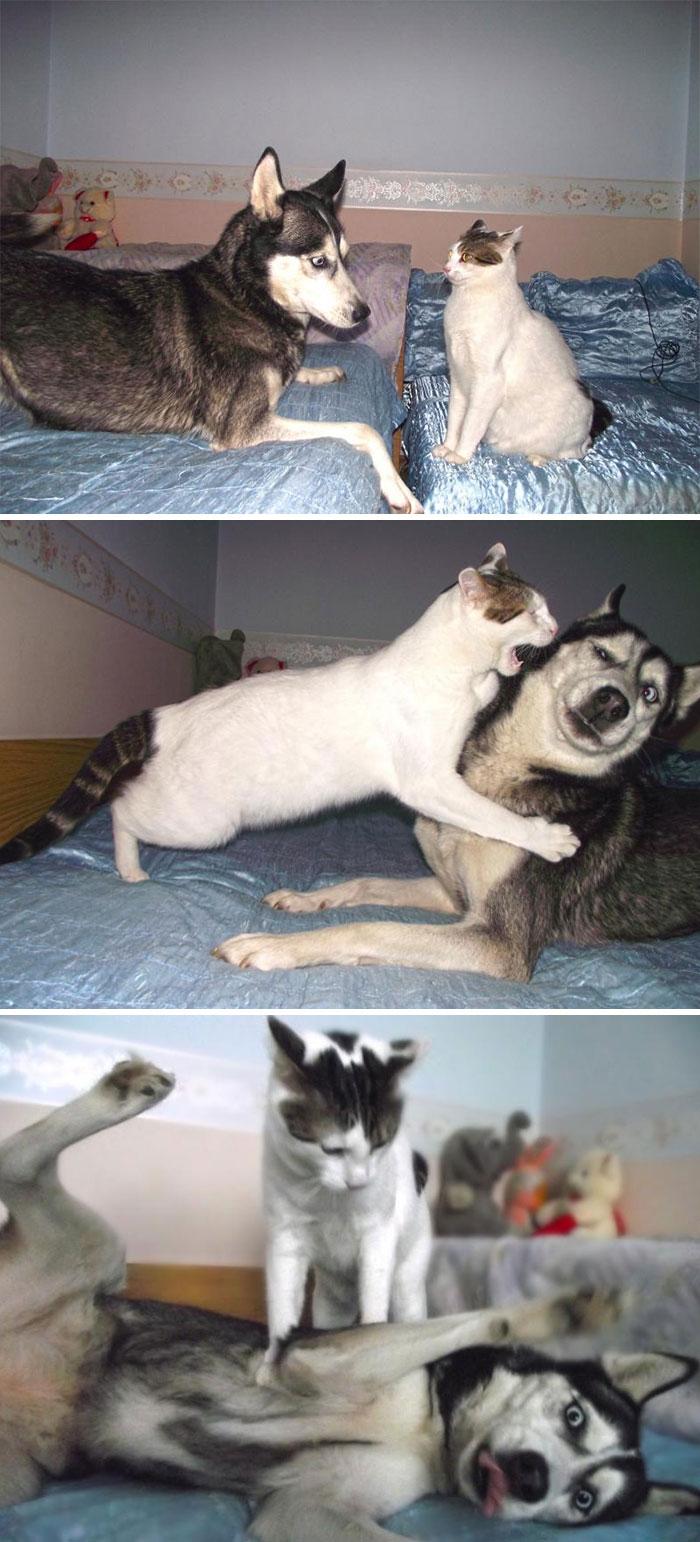 Cat Vs Husky