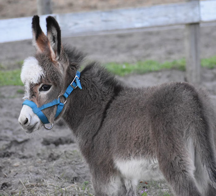 cute-miniature-baby-donkeys-12-5aabdbb3f1a7f__700 These 25+ Cute Baby Donkeys Are Everything You Need To See Today Design Random