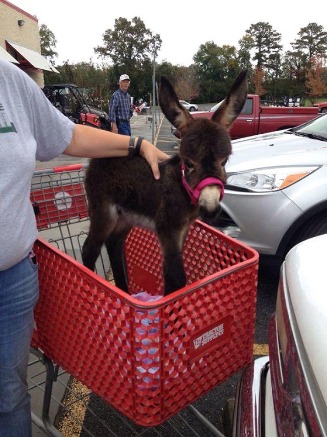 Borrico yendo de compras
