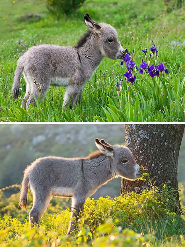 cute-miniature-baby-donkeys-18-5aaa359c1f32f__700 These 25+ Cute Baby Donkeys Are Everything You Need To See Today Design Random