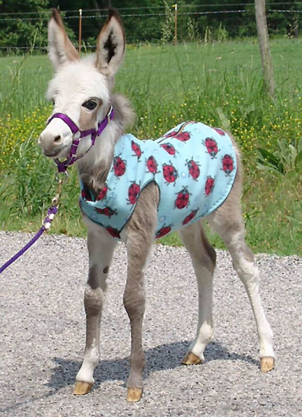 cute-miniature-baby-donkeys-2-5aa8f8f98281d__700 These 25+ Cute Baby Donkeys Are Everything You Need To See Today Design Random