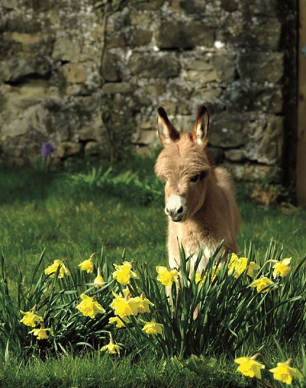cute-miniature-baby-donkeys-20-5aaa41ae28a15__700 These 25+ Cute Baby Donkeys Are Everything You Need To See Today Design Random