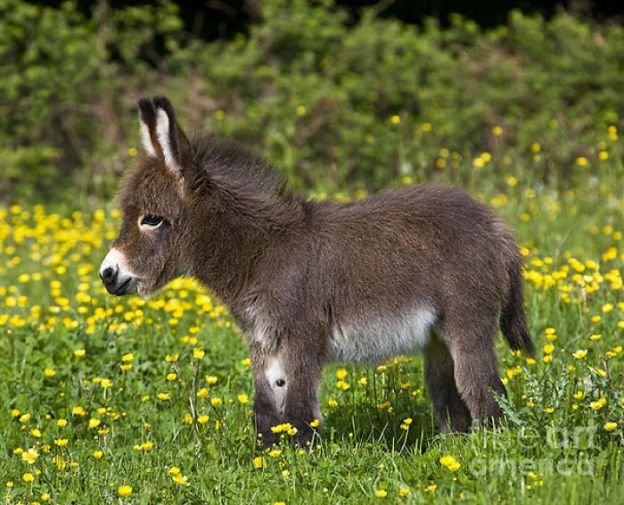 cute-miniature-baby-donkeys-21-5aaa42feceb07__700 These 25+ Cute Baby Donkeys Are Everything You Need To See Today Design Random