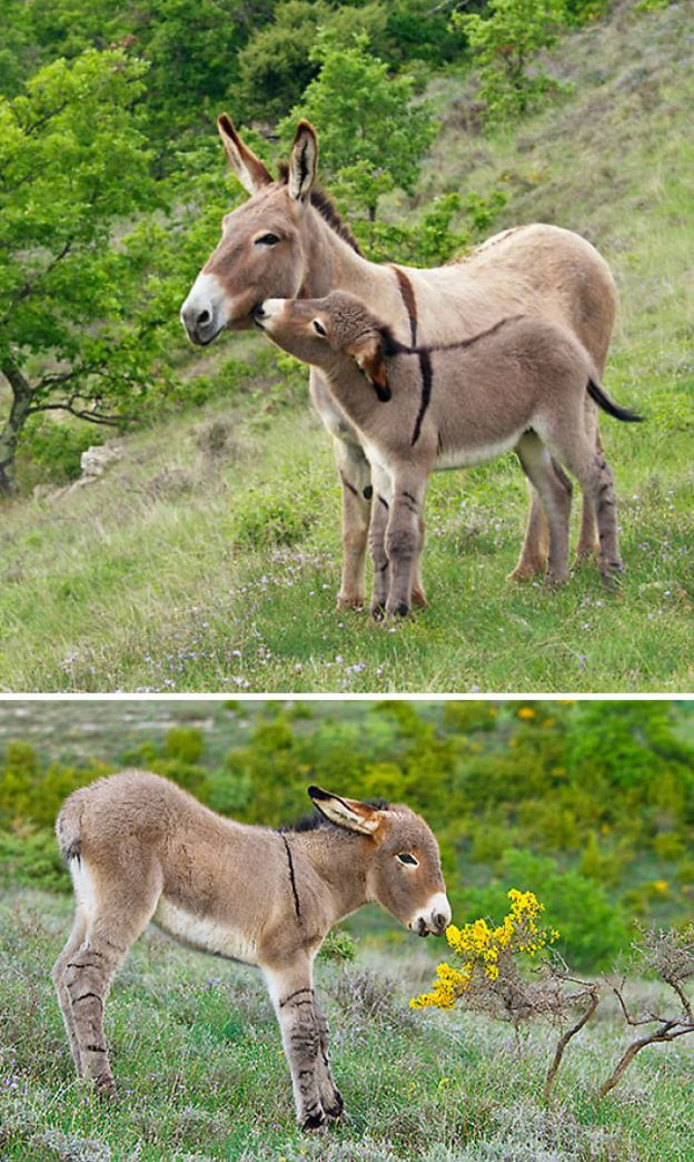 cute-miniature-baby-donkeys-314-5aabea6a8f4de__700 These 25+ Cute Baby Donkeys Are Everything You Need To See Today Design Random
