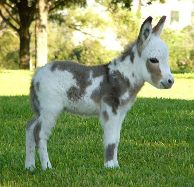 cute-miniature-baby-donkeys-4-5aa8ff682e93e__700 These 25+ Cute Baby Donkeys Are Everything You Need To See Today Design Random