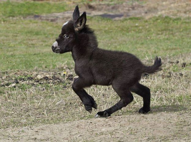 cute-miniature-baby-donkeys-5-5aa912361864d__700 These 25+ Cute Baby Donkeys Are Everything You Need To See Today Design Random