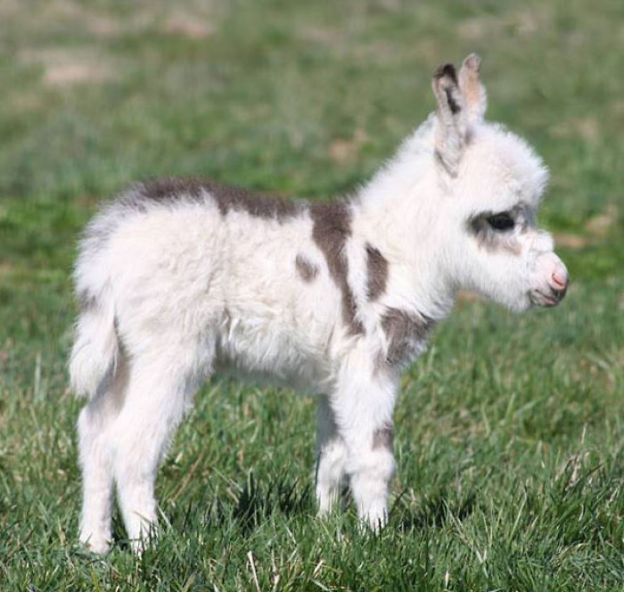 cute-miniature-baby-donkeys-61-5aa92dec53e30__700 These 25+ Cute Baby Donkeys Are Everything You Need To See Today Design Random