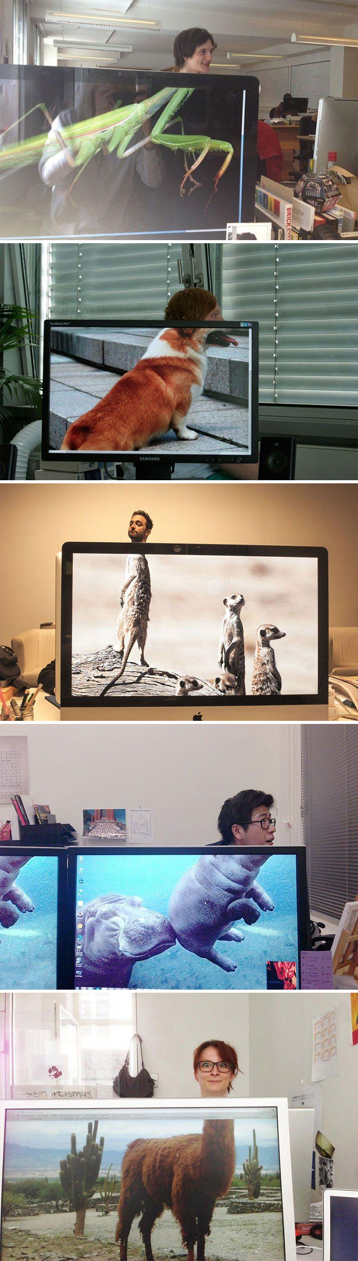 Coworkers Adding Heads To Animals On Desktop Background