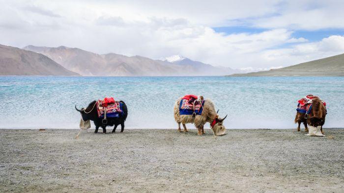 Yaks Beside Pangong Lake, Travel Finalist
