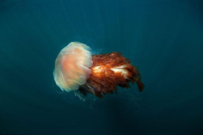 Lion's Mane Jellyfish, Natural World Finalist