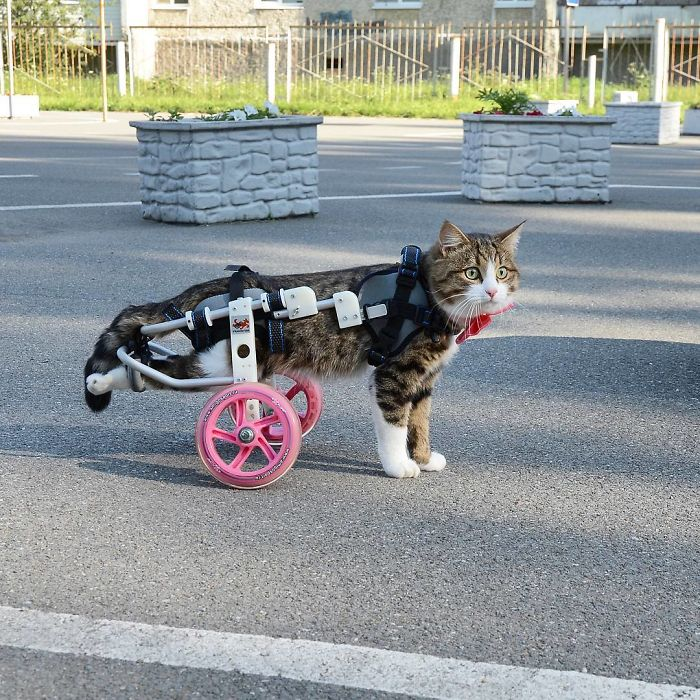 Handicapped-Cat-Rexie-The-Handicat-Dasha-Minaeva