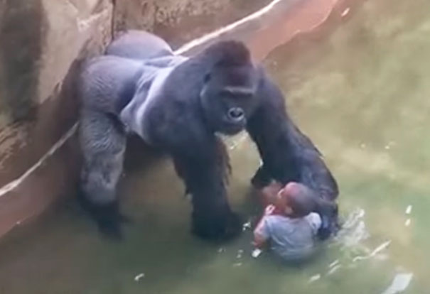 Last Moments Of Harambe, Gorilla Killed After A Child Fell Into His Enclosure At The Cincinnati Zoo In 2016