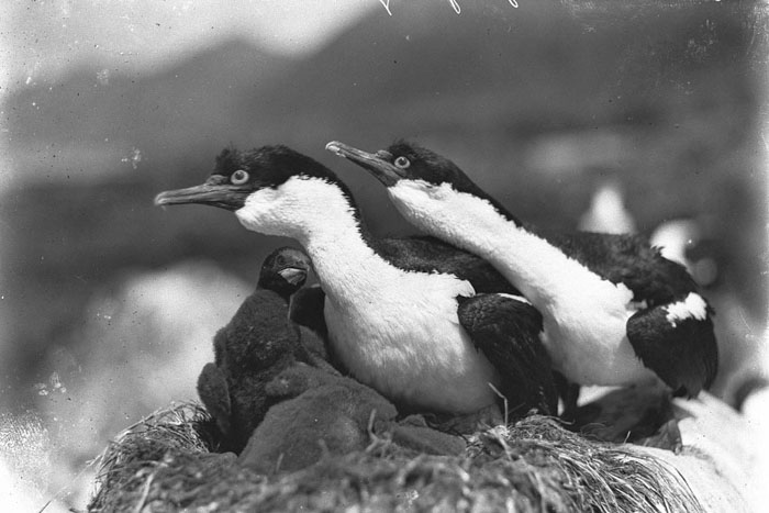 Shags Defending Nest, Macquarie Island