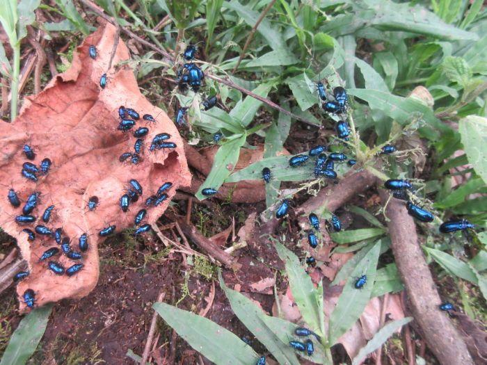 A Whole Colony Of Shiny Blue Beetles!