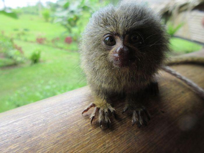 The World's Smallest Monkey! Pygmy Marmoset