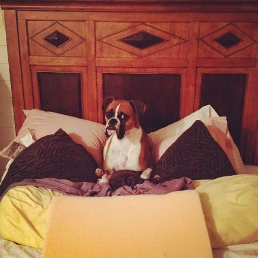 My Boxer Isn't Normally Allowed In My Bed. I Came Home To This