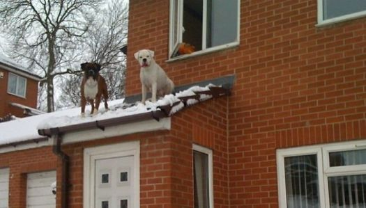 When A Man Came Running Down The Street To Tell Us Our Dogs Were On The Roof, We Thought He Was Joking... He Wasn't