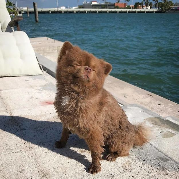 """Bcc_XzNAurP-png__700 Breeder Abandoned 5-Month-Old Pomeranian Because He Was """"Too Big"""", They Probably Regret It Now Design Random"""