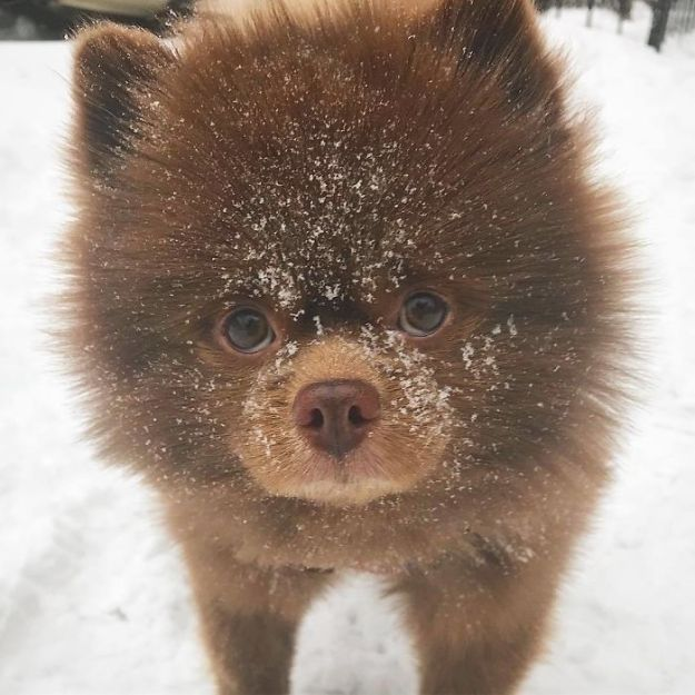 """Bdir4-OgrYp-png__700 Breeder Abandoned 5-Month-Old Pomeranian Because He Was """"Too Big"""", They Probably Regret It Now Design Random"""