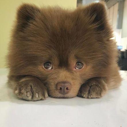 Perro pomerania abandonado por ser demasiado grande