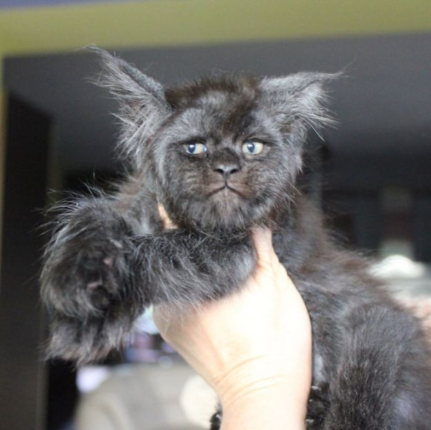 Cat-becomes-popular-on-the-internet-for-resembling-a-human-5b4320d2d6430__700 This Cat With A Human-Like Face Is Going Viral, And We Can't Unsee It Design Random