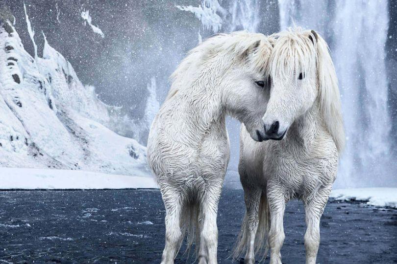 animal photography icelandic horses in the realm of legends drew doggett 15 5b5afbeb56a84  880 - Encantadora série de fotografias de Drew Doggett e os cavalos islandeses