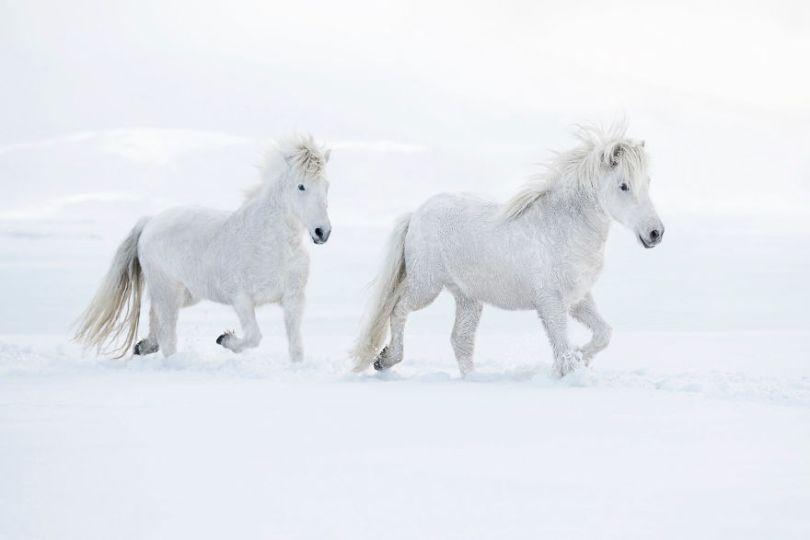 animal photography icelandic horses in the realm of legends drew doggett 25 5b5afbff3a5ee  880 - Encantadora série de fotografias de Drew Doggett e os cavalos islandeses