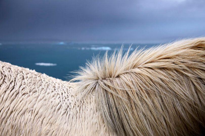 animal photography icelandic horses in the realm of legends drew doggett 28 5b5afc04e945a  880 - Encantadora série de fotografias de Drew Doggett e os cavalos islandeses