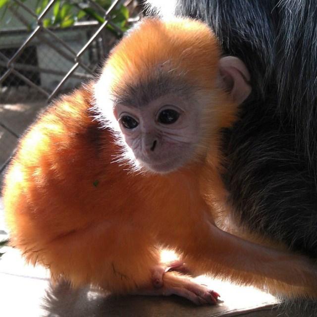 El color de las crías de mono langur