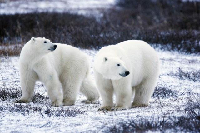 El color del pelaje de los osos polares