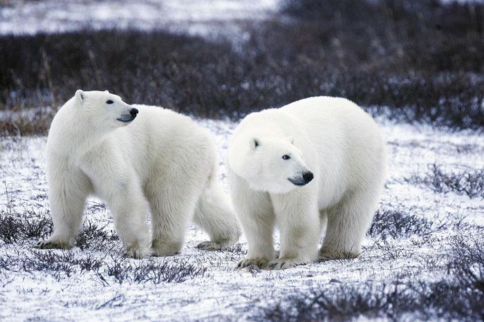 Osos polares Color de pieles