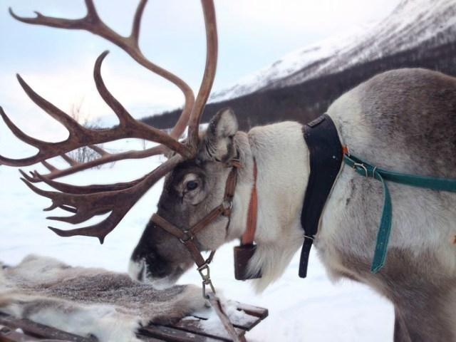 La verdad sobre los renos de Papá Noel