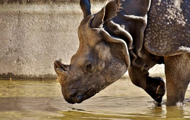Los cuernos del rinoceronte