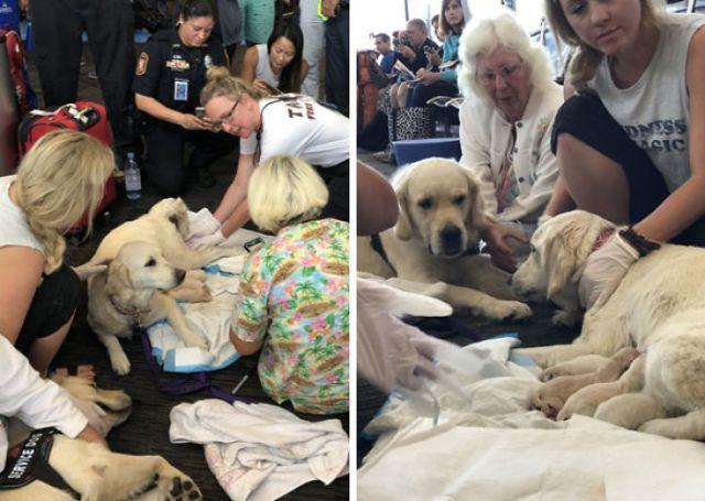 Con ayuda de paramédicos, esta perrita de servicio dio a luz a ocho cachorros en pleno aeropuerto de Tampa