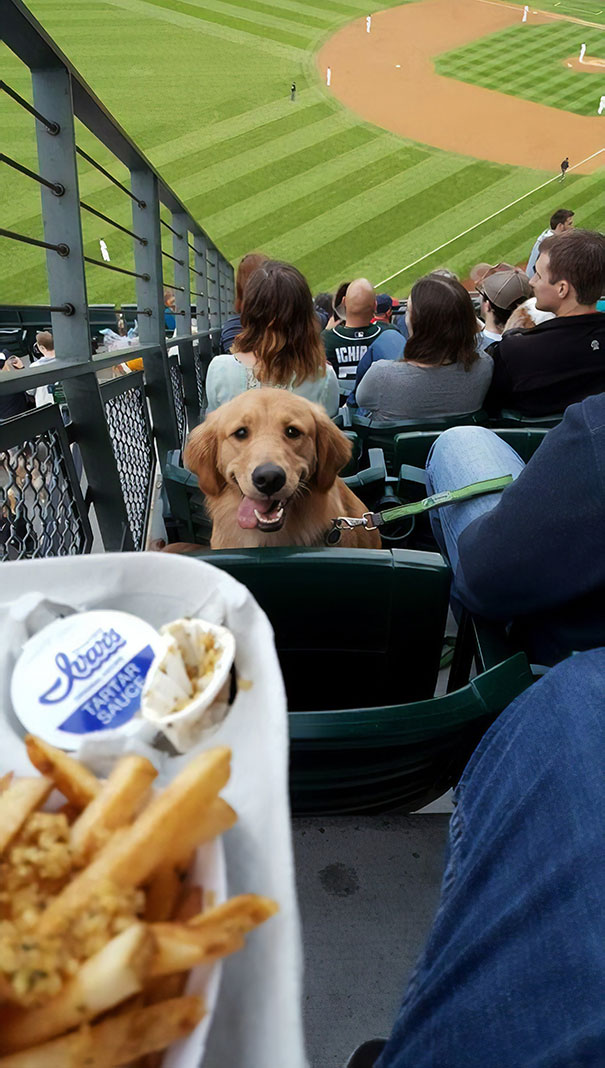 It Was 'Bring Your Dog Night' At The Seattle Mariners Game Last Night. He Stared At Me The Whole Time Like This