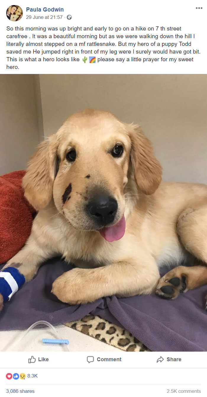 This Is Todd, Todd Is The Best Pupper. Todd Saw His Owner Almost Get Bitten By A Snake And Intervened. 27/10 Would Give All The Pets. Todd Is Making A Speedy Recovery