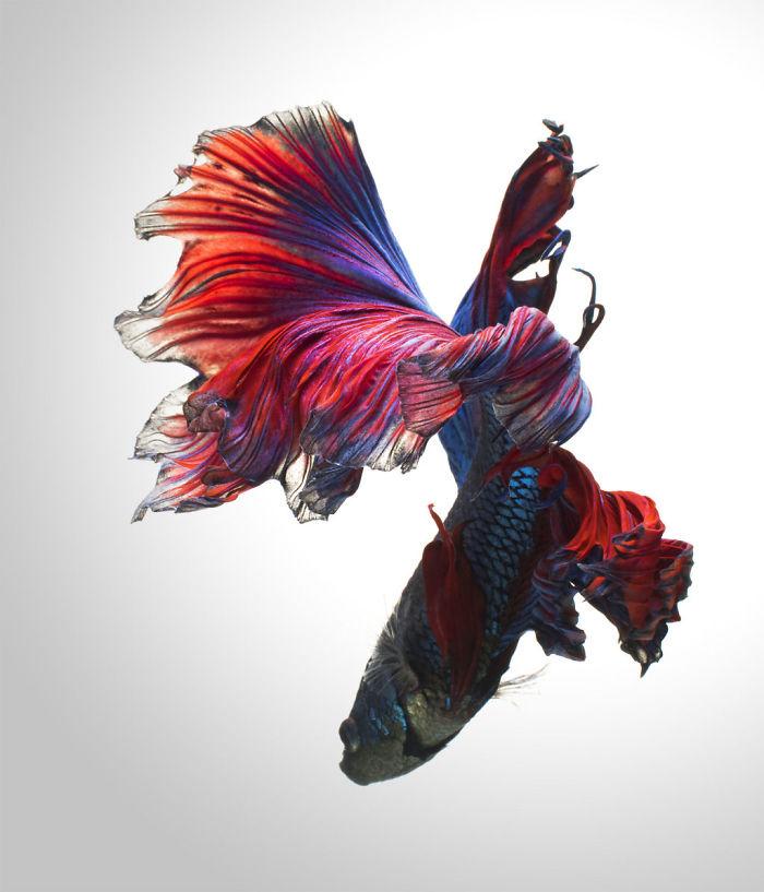 Las poses elegantes y fantásticas de los peces de acuario capturados por un fotógrafo tailandés