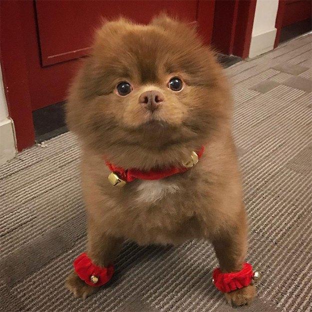 "dog-cute-bertram-the-pomeranian-bertiebertthepom-2 Breeder Abandoned 5-Month-Old Pomeranian Because He Was ""Too Big"", They Probably Regret It Now Design Random"