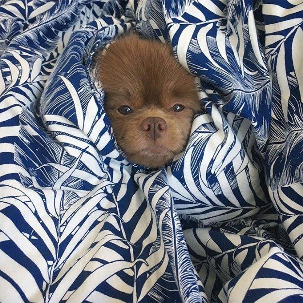 "dog-cute-bertram-the-pomeranian-bertiebertthepom-3 Breeder Abandoned 5-Month-Old Pomeranian Because He Was ""Too Big"", They Probably Regret It Now Design Random"