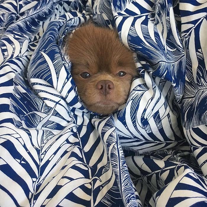 dog-cute-bertram -the-pomeranian-bertiebertthepom-3