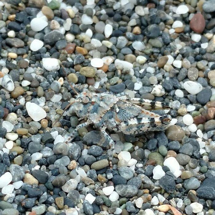 Camo Grasshopper Is The Rocks
