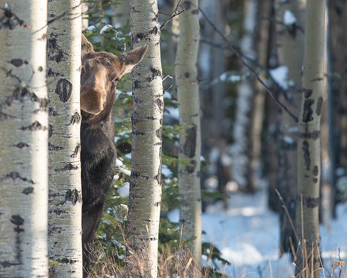 Agachándose Tiger Peeking Moose