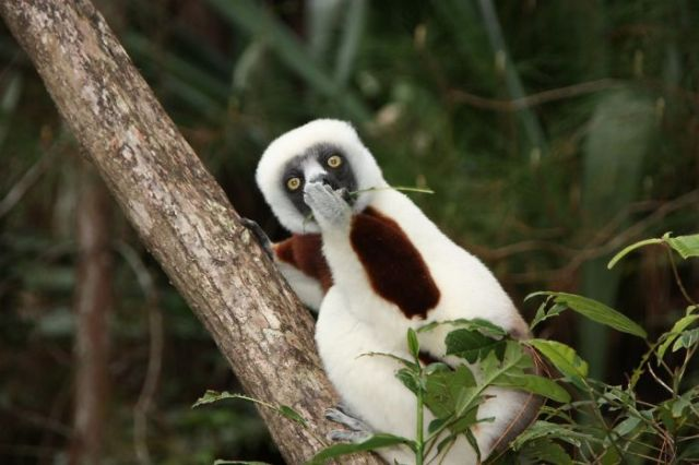 Lemur asombrado