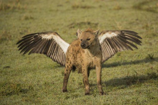 Hiena voladora