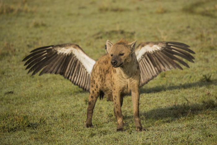 Flying Hyena