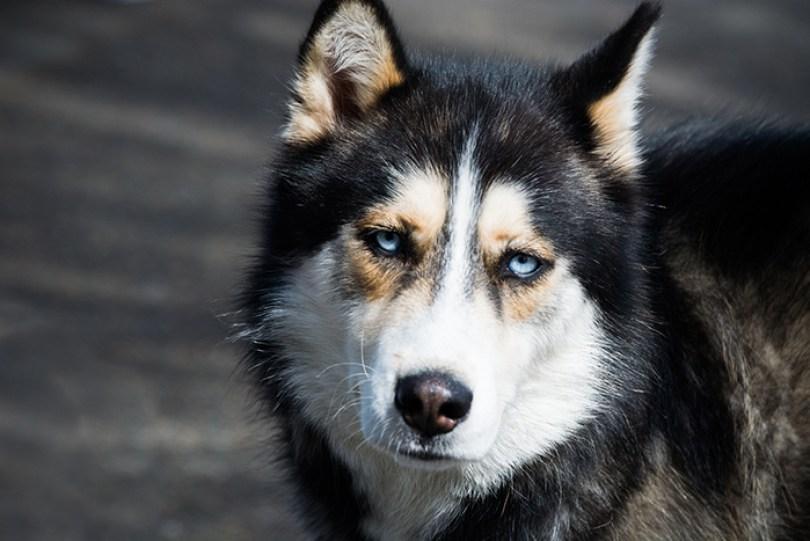 Cães de trenó foram banidos da Antártida em 1994