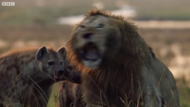 22 Lion Is Losing Fight Against 20 Hyenas, Bro Hears His Cries And Rushes To Save Him Design Random