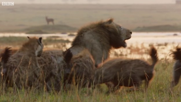 52 Lion Is Losing Fight Against 20 Hyenas, Bro Hears His Cries And Rushes To Save Him Design Random