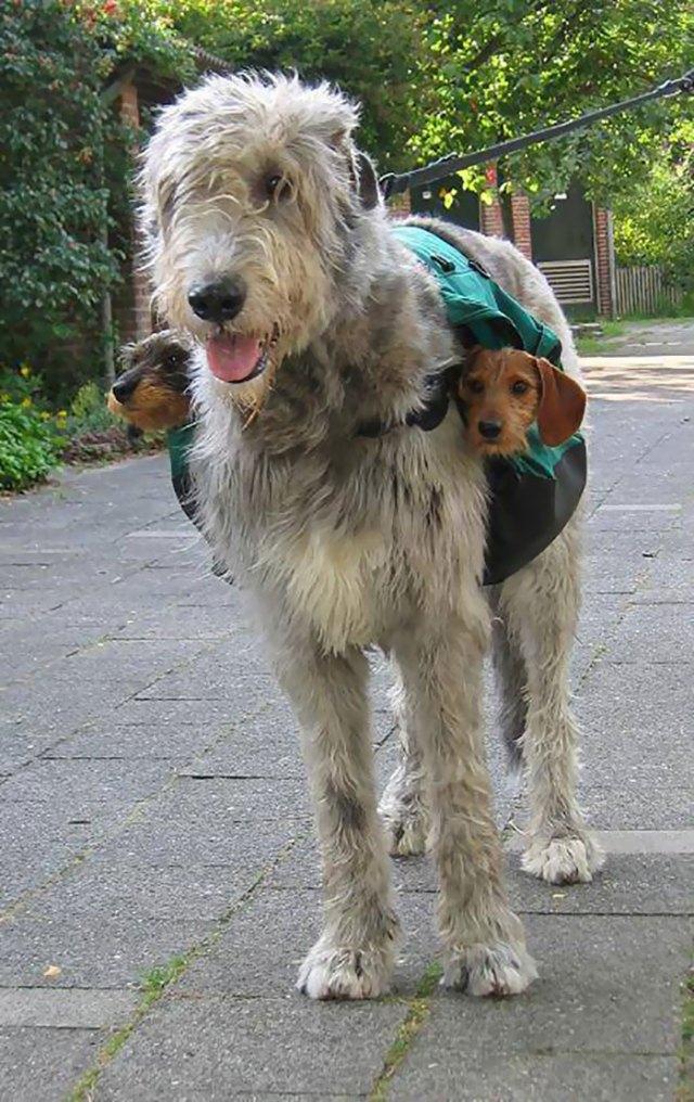 Los dachshunds son para guardar el equilibrio
